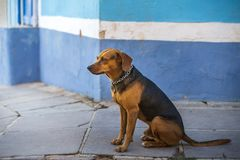 Hond in het koloniale district van Trinidad, Cuba stock fotografie