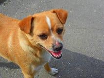Hond het letten op Royalty-vrije Stock Foto