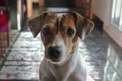 Hond het letten op, Jack Russell met achtergrond royalty-vrije stock foto