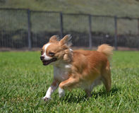 Hond het lopen Royalty-vrije Stock Fotografie