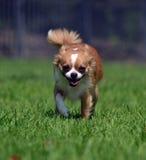 Hond het lopen Royalty-vrije Stock Foto