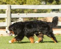 hond het lopen Royalty-vrije Stock Afbeeldingen
