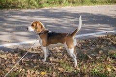 Hond het lopen Stock Afbeelding