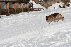 Hond het lopen sneeuw Stock Foto's