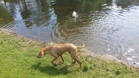 Hond het lopen vizslamaygarvizsla Royalty-vrije Stock Fotografie