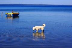 Hond in het meer Stock Fotografie