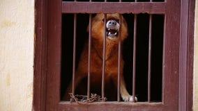 Hond het ontschorsen in zijn kooi stock footage