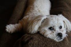 Hond het ontspannen Royalty-vrije Stock Afbeelding