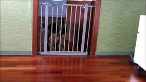 Hond het openen veiligheidspoort in huis stock footage