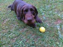 Hond het Roestige spelen met een bal royalty-vrije stock fotografie