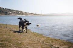 Hond het schudden na het zwemmen in meer Royalty-vrije Stock Foto
