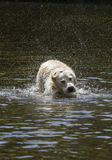 Hond het schudden in water Stock Foto's