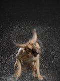 Hond het schudden water van zijn lichaam Stock Foto's