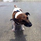 Hond het schudden weg na het gaan in oceaan! Leuk hondstrand! Waterhond Royalty-vrije Stock Afbeelding