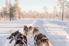 Hond het sledding in Lapland stock afbeeldingen
