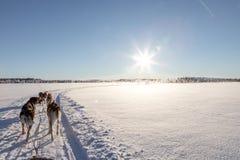Hond het sledding in Lapland royalty-vrije stock foto