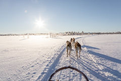 Hond het sledding in Lapland Stock Foto