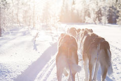 Hond het sledding in Lapland Stock Fotografie