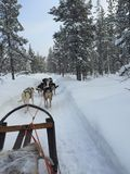 Hond het sledding in Zweden Stock Fotografie