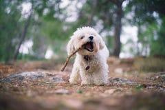 Hond het spelen buiten met een stok op het groene gebied stock fotografie