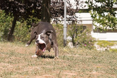 Hond het spelen in een park die een pijnboom achtervolgen Stock Afbeeldingen