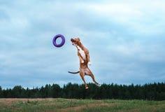 Hond het spelen, het springen, kuil bull terrier Royalty-vrije Stock Foto