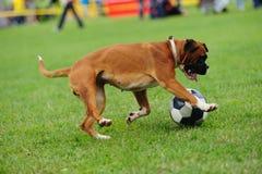 Hond het spelen met bal Stock Foto's