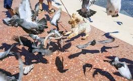Hond het spelen met duiven in Barcelona stock afbeelding