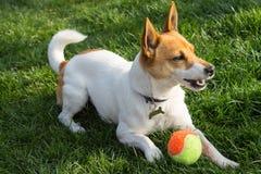 Hond het spelen met een bal Stock Foto