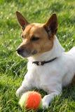 Hond het spelen met een bal Royalty-vrije Stock Afbeelding