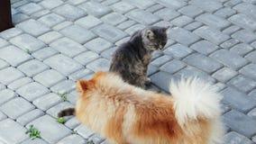 Hond het spelen met een kat Spitz wil de kat door de staart bijten stock videobeelden
