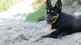 Hond het spelen met een stok op het strand stock footage