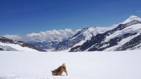 Hond het spelen met sneeuw voor Aletsch-Gletsjer, Zwitserland Royalty-vrije Stock Foto