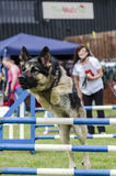 Hond het springen hindernis Royalty-vrije Stock Foto