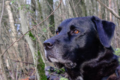 Hond het staren, vergeetachtig van welke ` s die naast hem gebeuren Royalty-vrije Stock Foto's