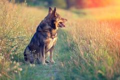 Hond het staren zonsondergang Stock Foto