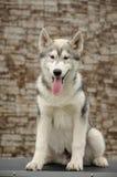 Hond het stellen Stock Foto's
