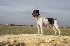 Hond het stellen op een gebied van zand op het gebied royalty-vrije stock fotografie