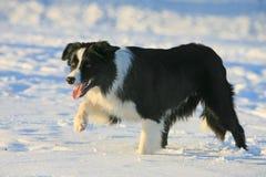 Hond het steping in sneeuw Royalty-vrije Stock Foto