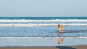 Hond in het strand royalty-vrije stock foto's