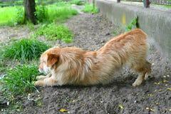 Hond het uitrekken zich Royalty-vrije Stock Afbeelding