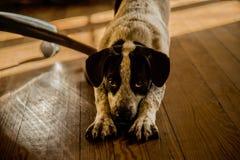 Hond het uitrekken zich in het leven royalty-vrije stock foto
