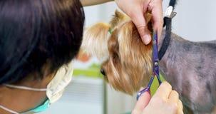 Hond het verzorgen in salon Professionele hond groomer Mooie jonge vrouw die kapsel voor hond maakt stock video
