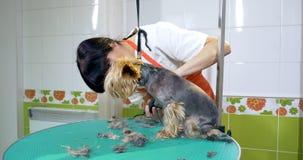 Hond het verzorgen in salon Professionele hond groomer Mooie jonge vrouw die kapsel voor hond maakt stock videobeelden