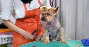 Hond het verzorgen in salon Professionele hond groomer Mooie jonge vrouw die kapsel voor hond maken stock video