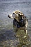 Hond in het water Stock Foto