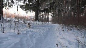 Hond het Zoeken Jack Russell-terriërjachten Het spelen van de hond grappig huisdier De jacht van de hond stock footage