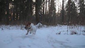 Hond het Zoeken Jack Russell-terriërjachten Het spelen van de hond grappig huisdier De jacht van de hond stock video
