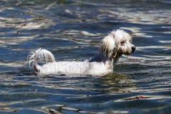 Hond het zwemmen Stock Fotografie