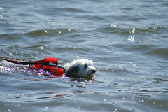 Hond het zwemmen stock foto's